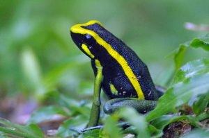 Morpho Institute dart frog