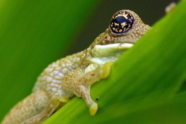 Morpho Institute Amazon tree frog