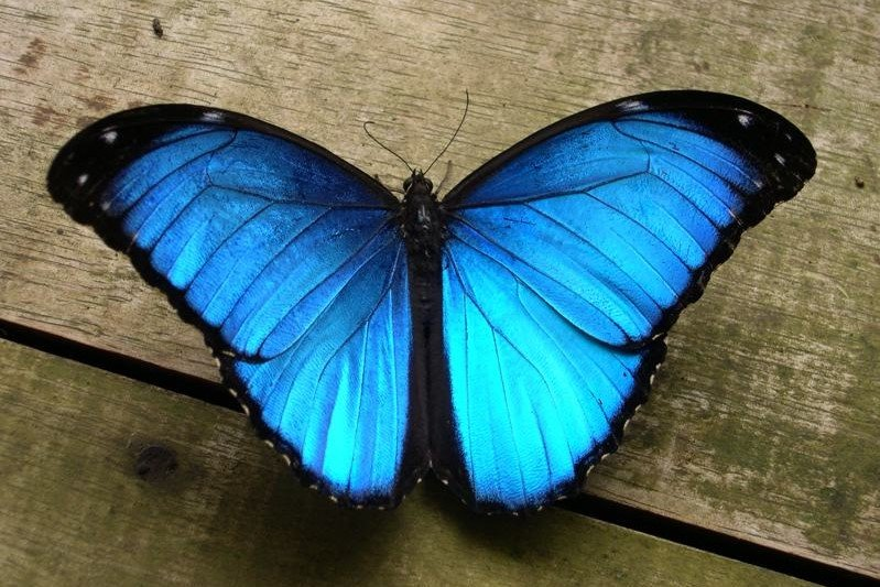 Blue Morpho Butterfly (Peruvian Amazon)